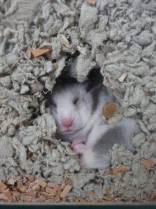 hamster burrow in bedding