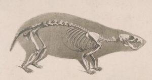 Skeleton of a Hamster